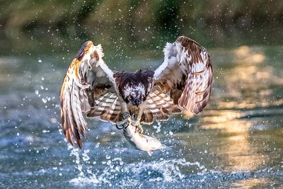 Osprey fishing 10 b  at  Hornmill 2017