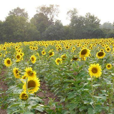 Sunflower, Late Summer, 2017, P1020184