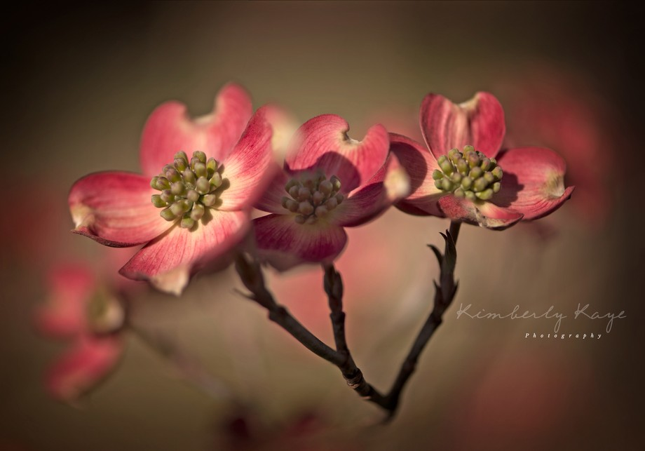 Eureka Springs at sunrise. Dogwood blooms in the morning light.