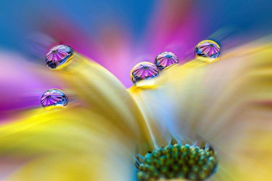 Osterospermum Waterdrops