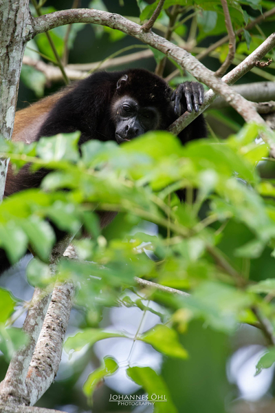A mantled howler (Alouatta palliata) rests in the foilage of a tree.