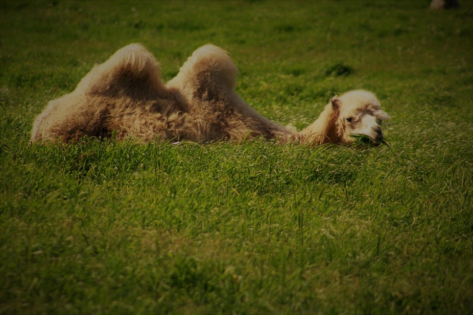 Today I fell in love with a camel.....grazing with the sheep....that I could pet and scratch like...