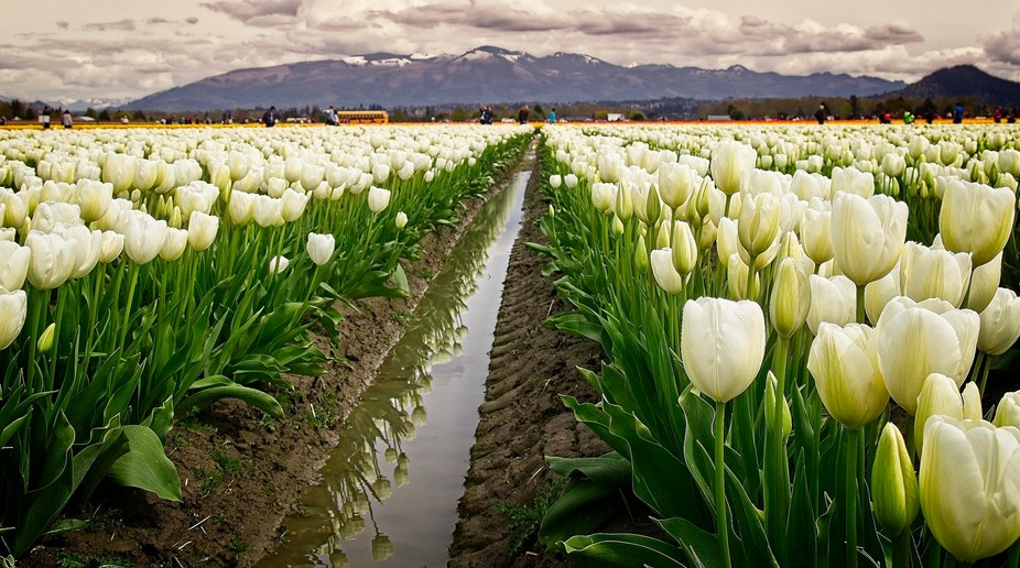Lots of rain this Spring in the Pacific Northwest. The rainy tulip fields are full of people and ...