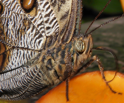 Owl Butterfly Close-up - Costa Rica