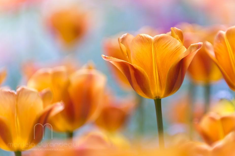 Tulips #17
