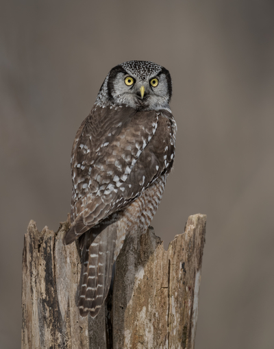 Stumped Northern Hawk Owl