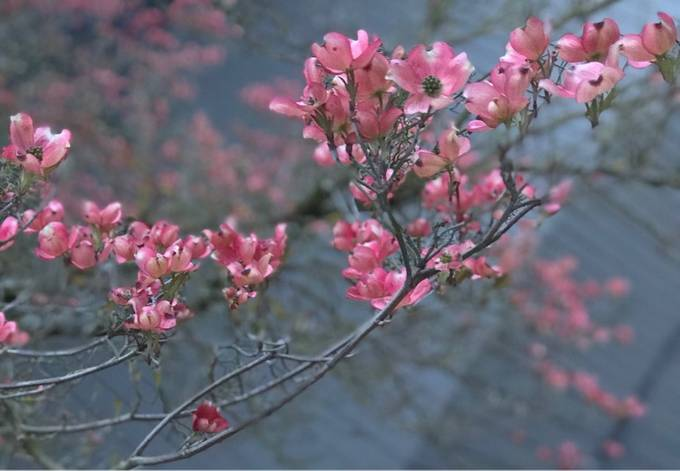 First pink dogwood blossoms