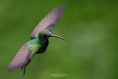 A rufous-tailed hummingbird (Amazilia tzacatl tzacatl) in hovering flight