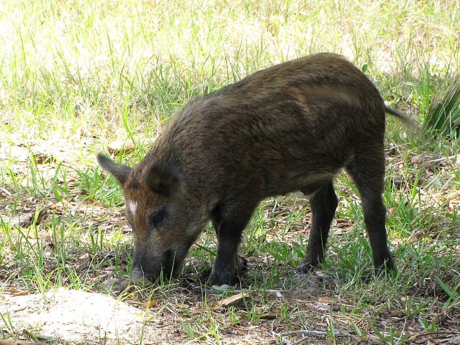 I captured this wildlife image of a Wild Boar at the Canaveral National Seashore National Park du...