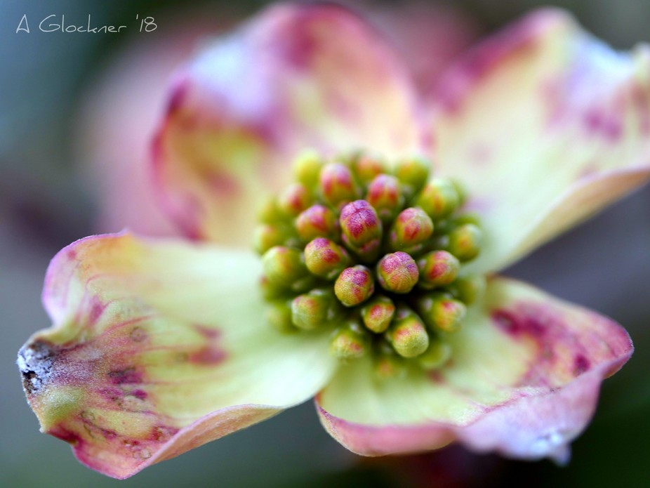 It's Soring and the pinlk dogwoods are abloom!