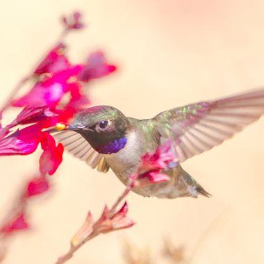 Black-Chinned Hummingbird-1588