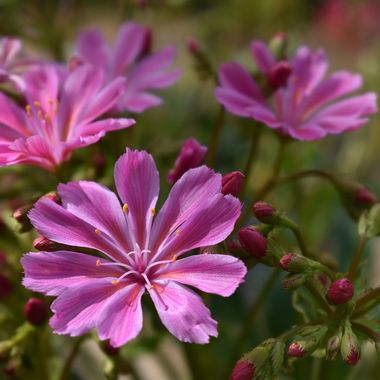 Beautiful Pink Lewisia at the St Andrews Botanical Gardens on a sunny day .