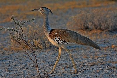 DSC_7007 Kori Bustard 12 Namibia 2016