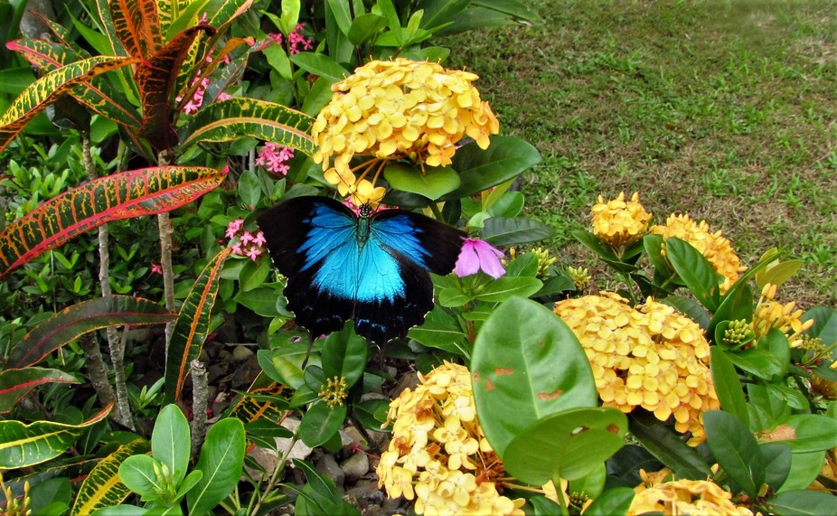 Taken in North Queensland, Australia. Papilio ulysses, the Ulysses butterfly, is a large swallowt...