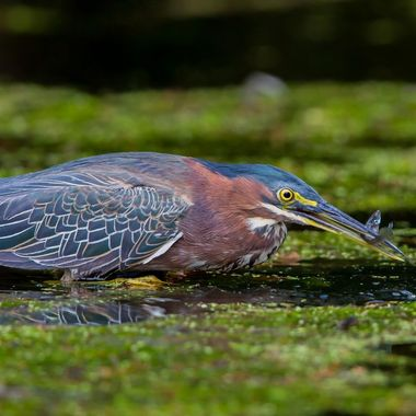 Green Heron-9848