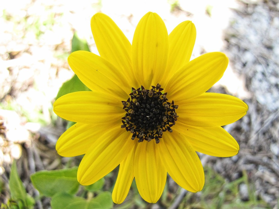 This is a better image of the same yellow Flower that I uploaded earlier.   ©  2018 By Chris Mer...