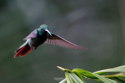 A rufous-tailed hummingbird (Amazilia tzacatl tzacatl) lands on a leaf.