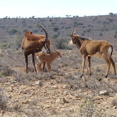 A sable calf taking it's 1st few steps with an inquisitive young ram looking on.
