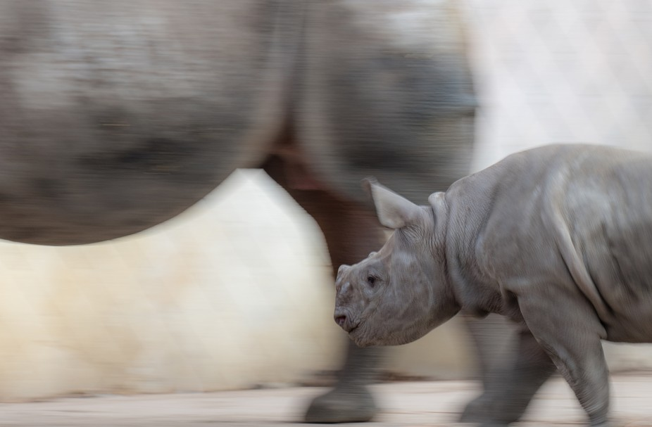 little rhino