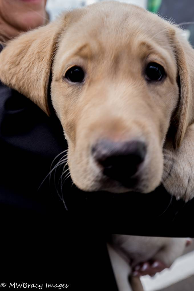 While at the puppy presentation for Guide Dogs for the blind I was lucky enough to capture this image of new girl Zeta