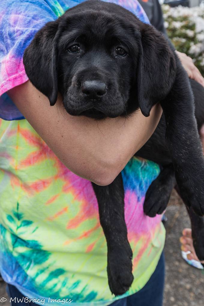 Stardust is a new puppy for Guide Dogs for the Blind