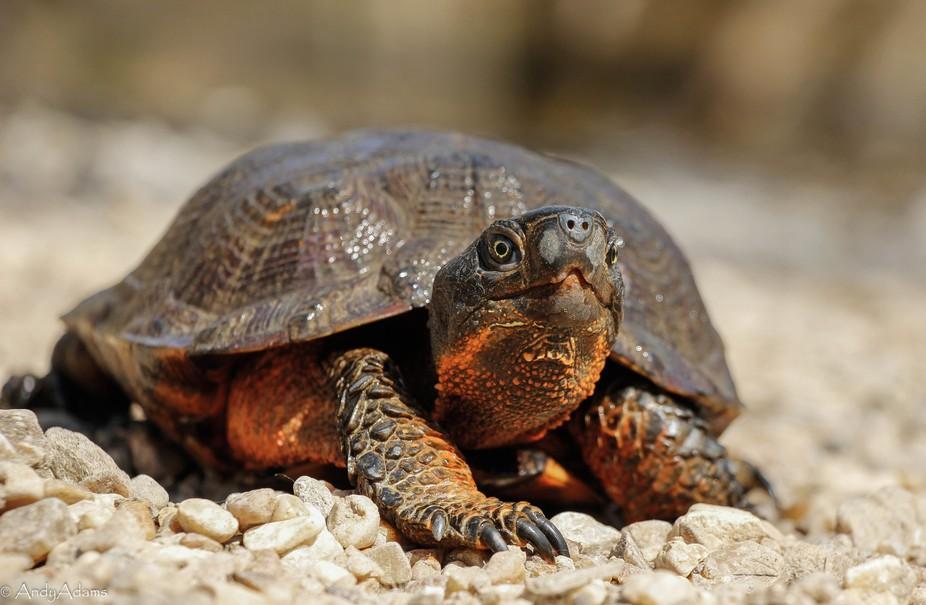 Wood Turtle Portrait
