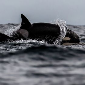 Killer Whales in Monterey Bay