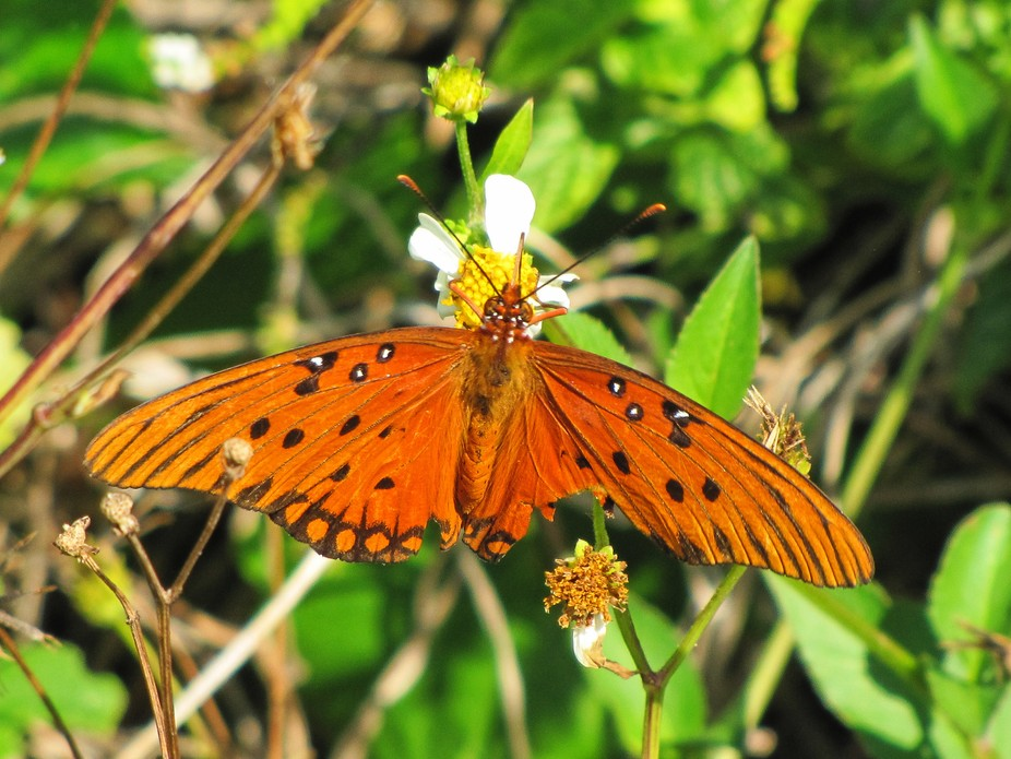 I captured this wildlife picture of a Gulf Fritillary Butterfly on a Spanish needle flower at the...