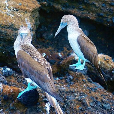 Marvelous Blue Footed Boobies of the Galapagos!
