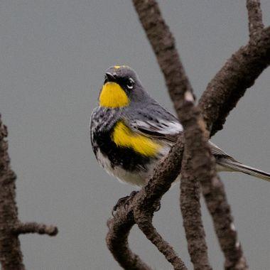 Yellow Rumped Warbler 6