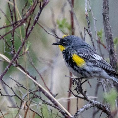 Yellow Rumped Warbler 5