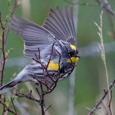 Yellow Rumped Warbler 4