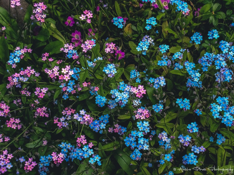 The pink and blue forget-me-nots are the state flower of Alaska.