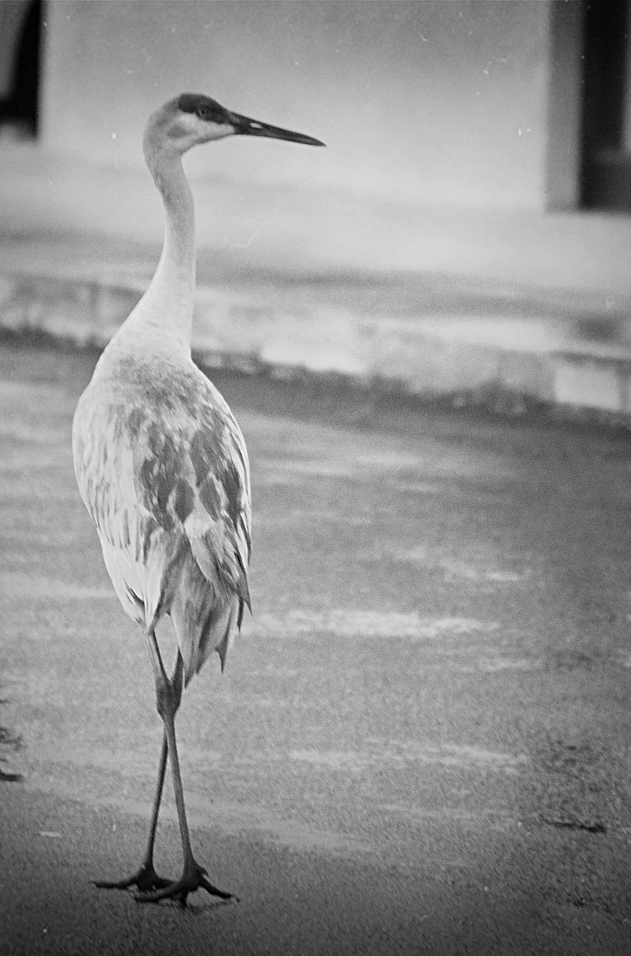 Black and White Florida Bird