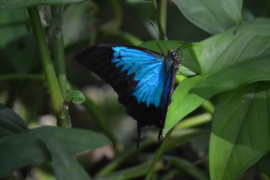 Ulysess Butterfly.at Kuranda.