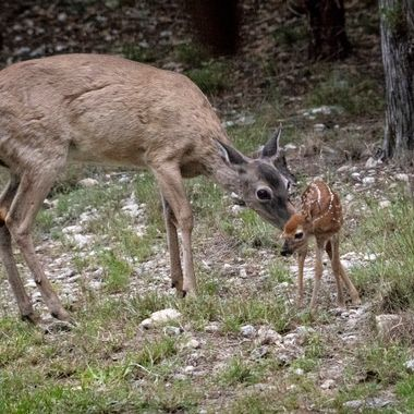 Hours old fawn tended to by an attentive mom near Lake Travis, Texas