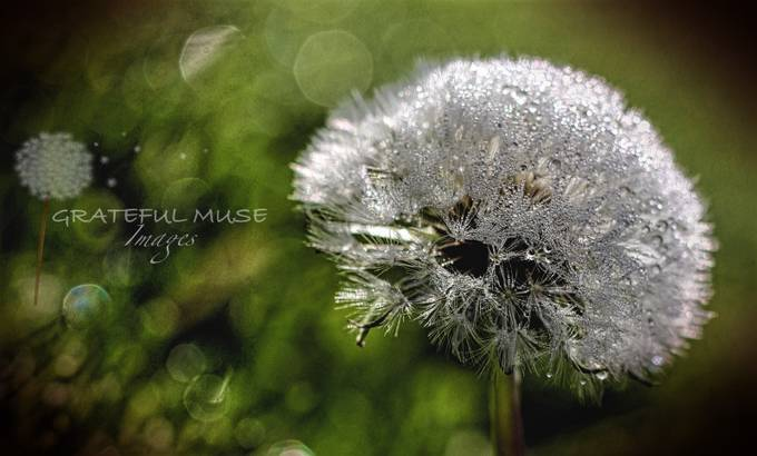 Droplets of dew on the hairy clusters of a dandelion