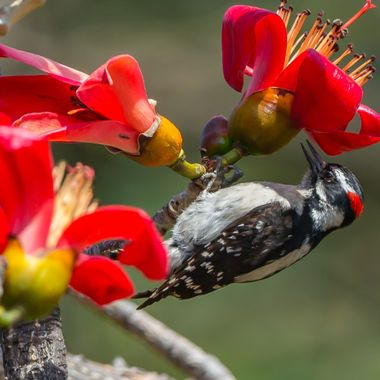 Downy Woodpecker-2371
