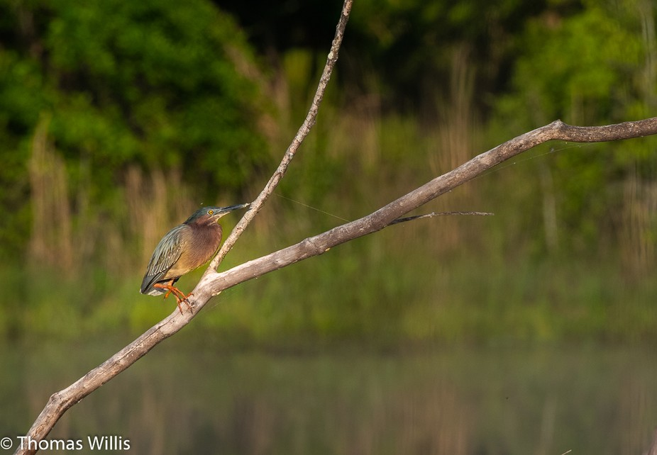 Early morning and this bird was being intimidated by another green heron nearby and was oblivious to me.