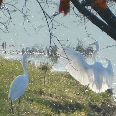 Translucient wings of white Egret
