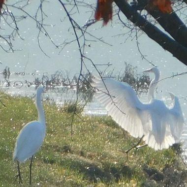 Translucient wings of white Egret