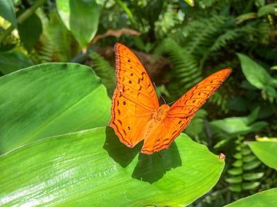Lepidoptera - Tasmania