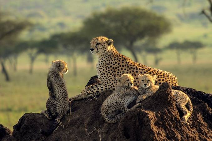 The Playful Cheetahs by Gabrieldek - Image Of The Month Photo Contest Vol 33