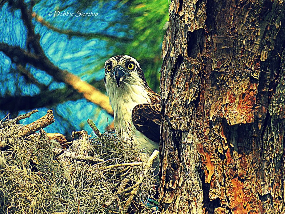 Female Osprey in the nest with eggs or chicks, not sure yet!
