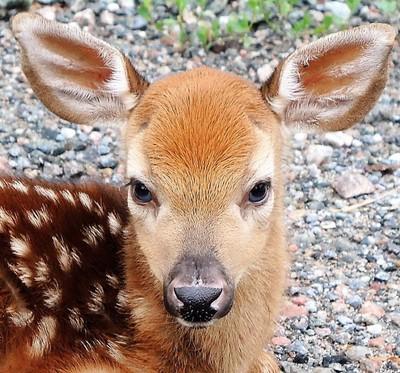 Newborn Bambi