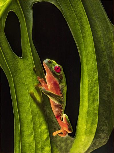 Tree_Frog_Leave