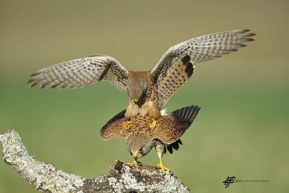 A pair of Kestrels mating.