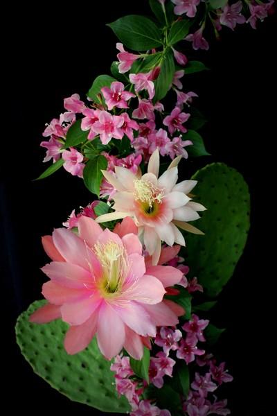 Cacti, Pink And Paler