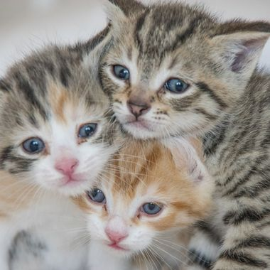 The Three Little Kittens, Lost there Mittens