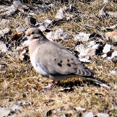 The first Mourning Dove of the season shot in the front yard! Nikon D3400